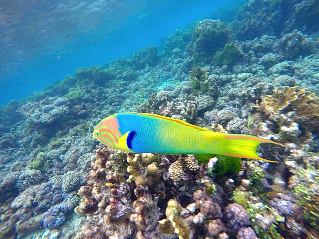 Elaborately tinted Wrasse cruising the coral.
