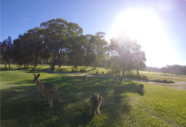 Acres of manicured grass is a dream come true for this mob of kangaroos.