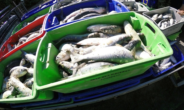 Truckloads of fish-filled crates