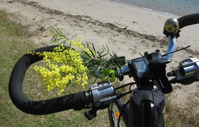 Winter wattle from early August bringing its wintery scent to my handlebars.