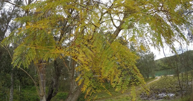 Jacaranda leaves turn yellow preparing for lilac blooms.