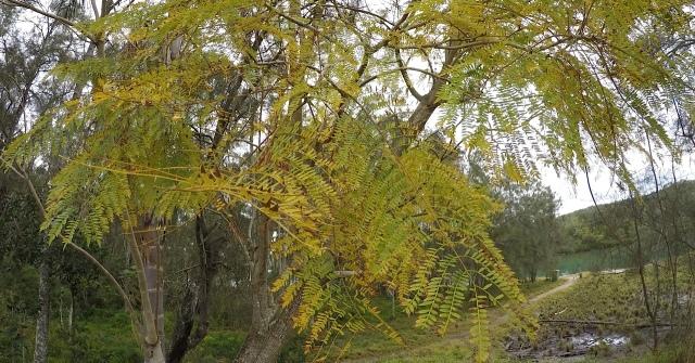Jacaranda leaves turn yellow preparing for lilac blooms.