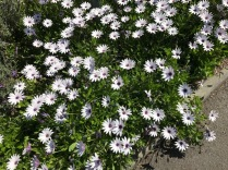 Streetside daisies